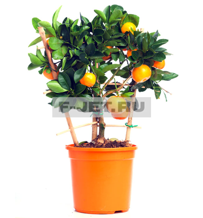 Купить цветы горшочные