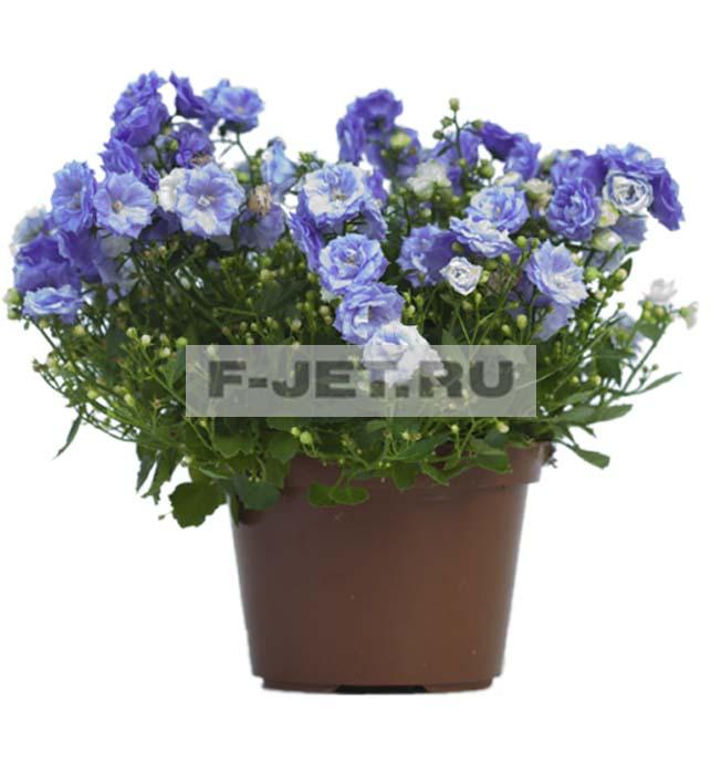 Комнатный цветок крапивка виды